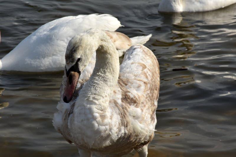 Ung swan arkivbild