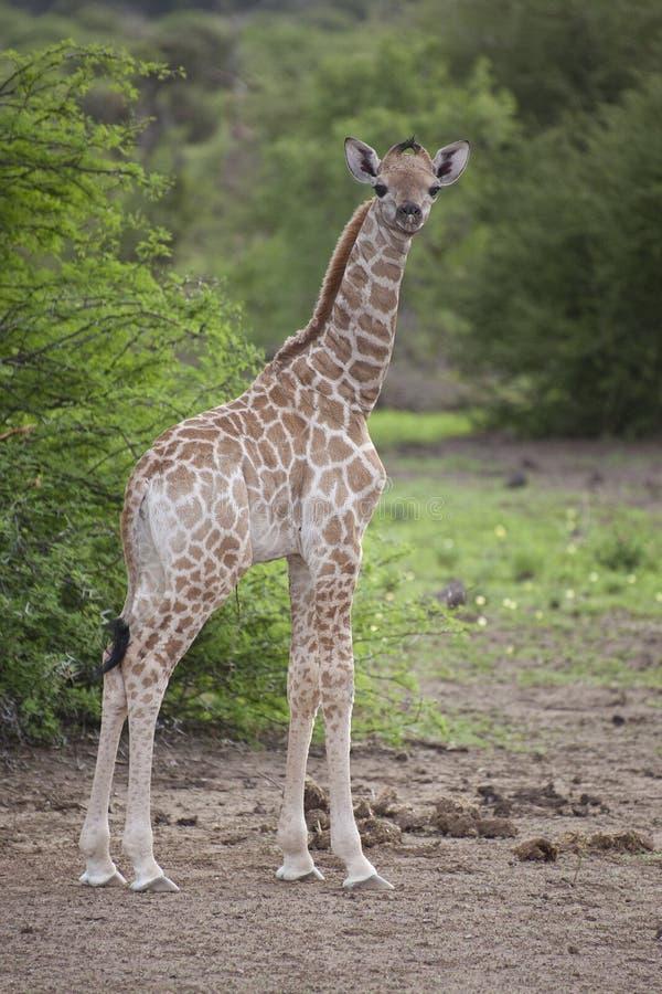 Ung sydlig giraffstående, Botswana fotografering för bildbyråer