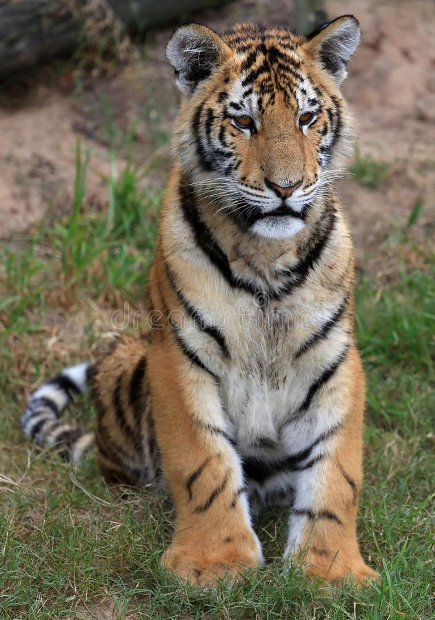 Ung tiger royaltyfria bilder