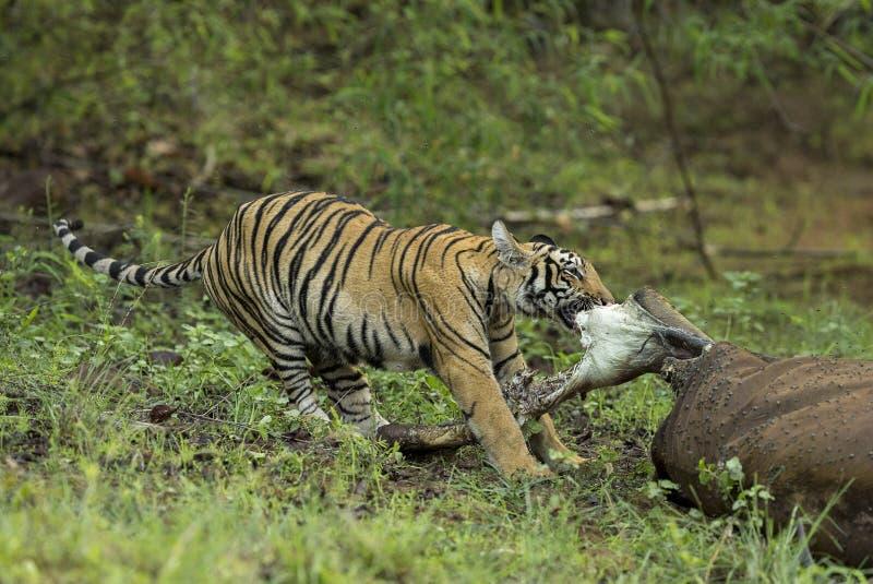 Ung tiger som applicerar full stenght för att äta köttet på maharashtraen för Tadoba tigerreserv, Indien arkivbild