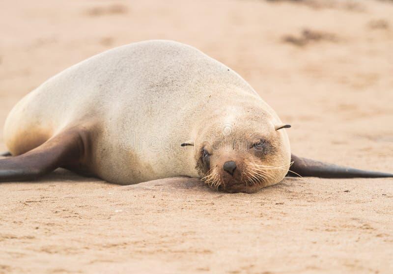Ung uddepälsskyddsremsa på reserven för uddekorsskyddsremsa, skelett- kust, Namibia, Afrika fotografering för bildbyråer