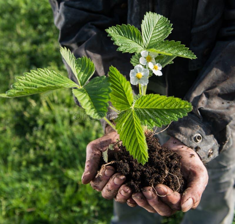 Ung växt för bondeinnehavgräsplan royaltyfri foto