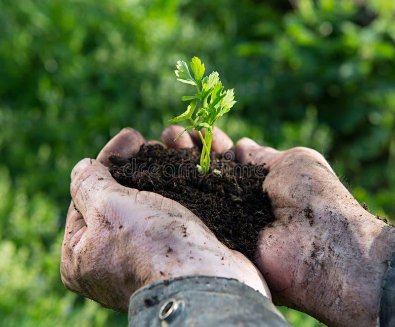 Ung växt för bondeinnehavgräsplan royaltyfri bild