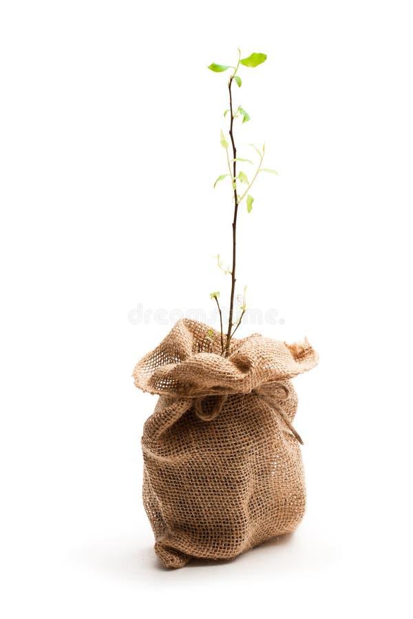 Ung växt i säckvävpåsen som isoleras på vit royaltyfria foton