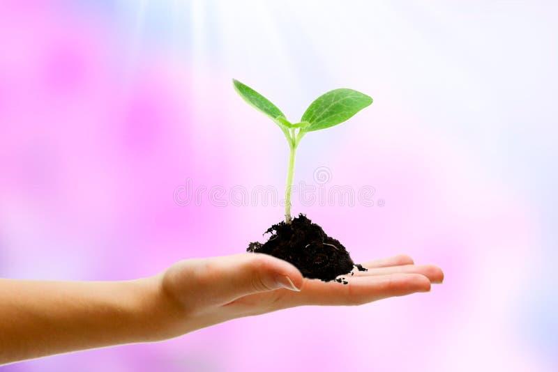 Ung växt som växer i solljus Hand med jord och växten fotografering för bildbyråer