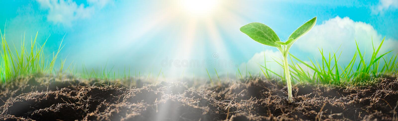 Ung växt som växer på jord i solljus royaltyfri foto