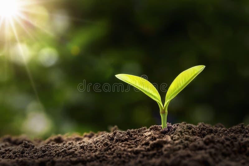 ung v?xt som v?xer i morgonljus jordbruk och begrepp för jorddag royaltyfri fotografi
