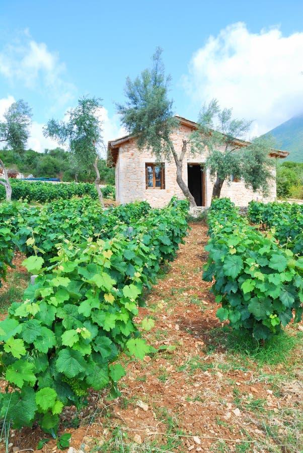 Ung vingård med olivträd royaltyfri foto