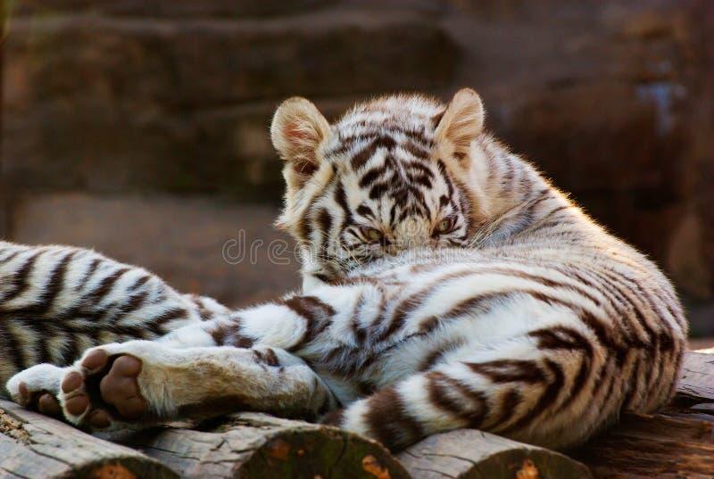 Ung vit Bengal tiger arkivfoto