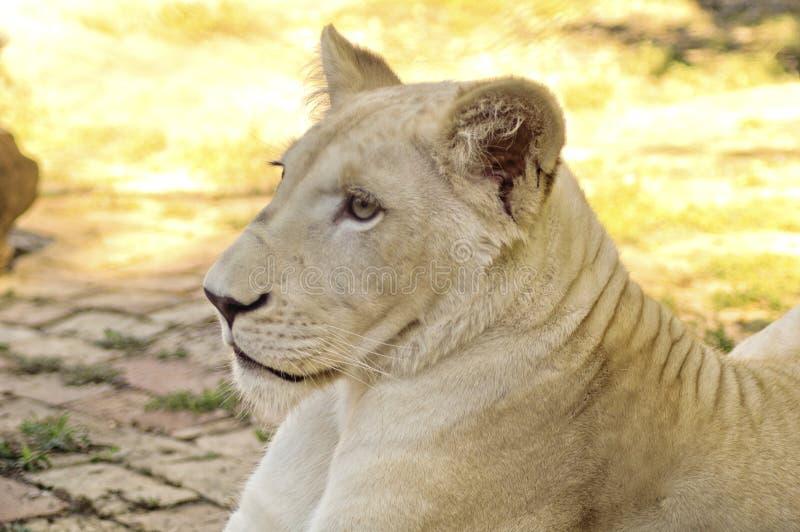 Download Ung vit lioness fotografering för bildbyråer. Bild av ström - 27284203