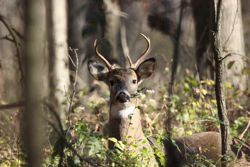 Ung Whitetail Buck Looking på kameran arkivbild