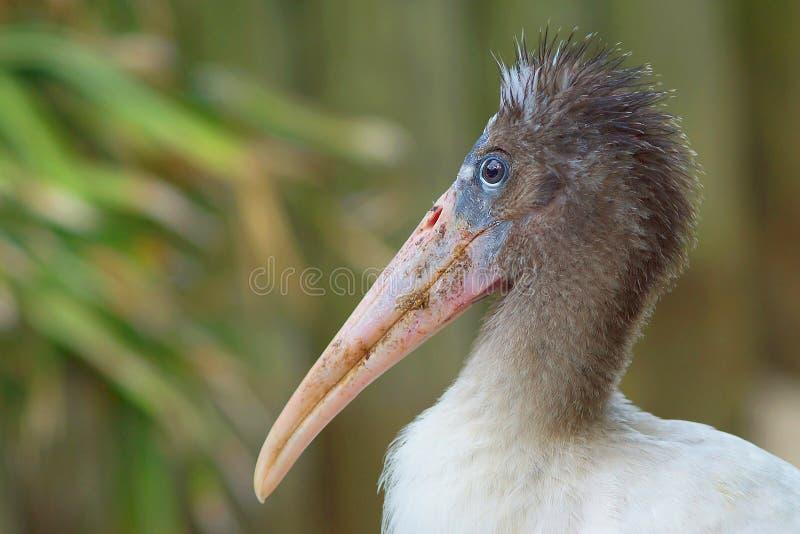 Ung Wood stork royaltyfri bild