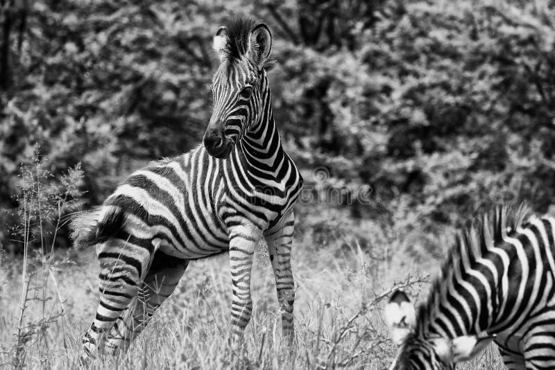 Ung zebraföl i svart och vitt royaltyfria foton
