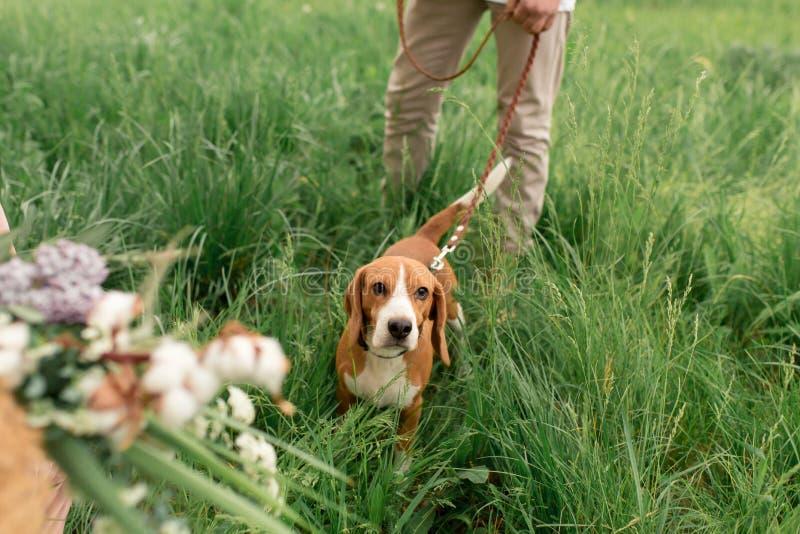 Unga älska par som har gyckel och spring på det gröna gräset på gräsmattan med deras älskade avelbeagle för inhemsk hund och a arkivfoto