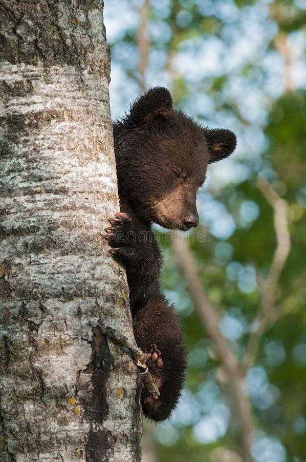 Unga ögon för svart björn (den americanus ursusen) stängde sig royaltyfri fotografi