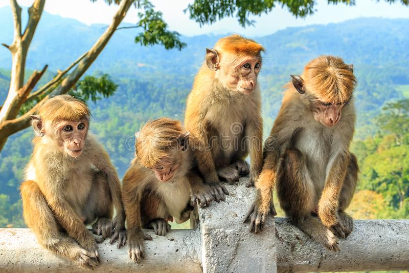 Unga apor sitter på bakgrunden av berg och rainforesten royaltyfria bilder