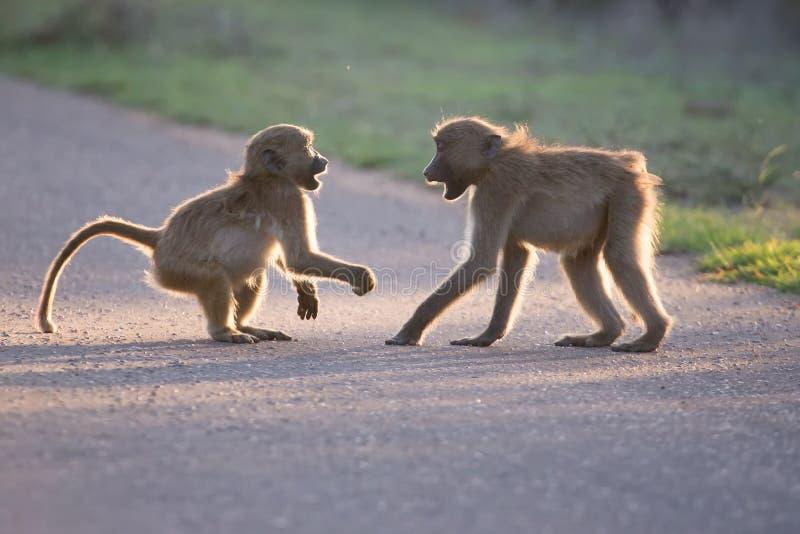 Unga babianer som spelar i en sen eftermiddag för väg för gående baksida fotografering för bildbyråer