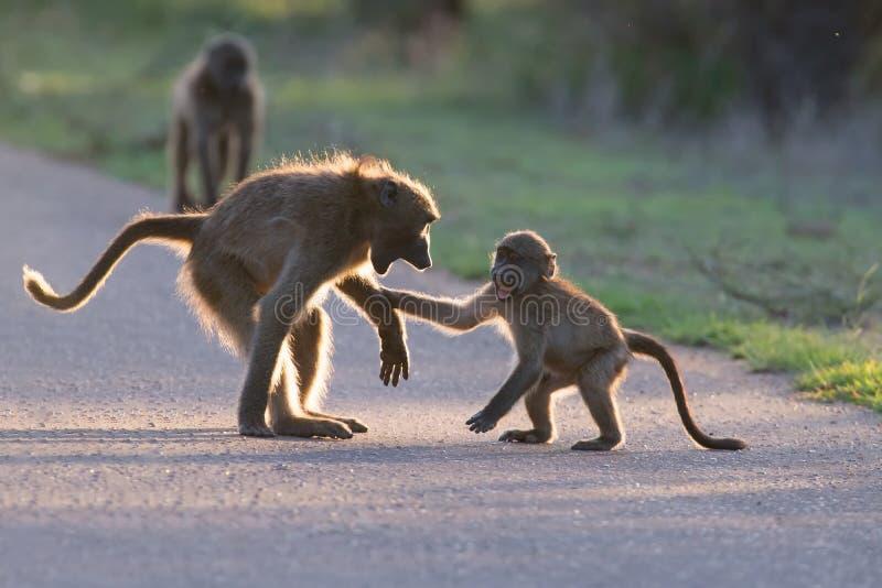 Unga babianer som spelar i en sen eftermiddag för väg för gående baksida arkivbild