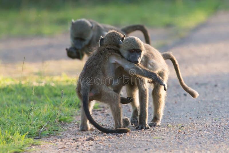 Unga babianer som spelar i en sen eftermiddag för väg för gående baksida royaltyfri foto