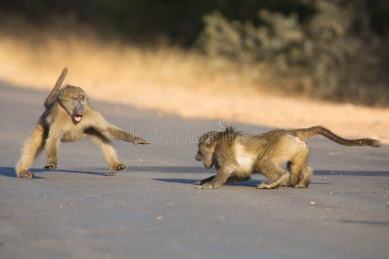 Unga babianer som spelar i en sen eftermiddag för väg för gående baksida royaltyfria foton