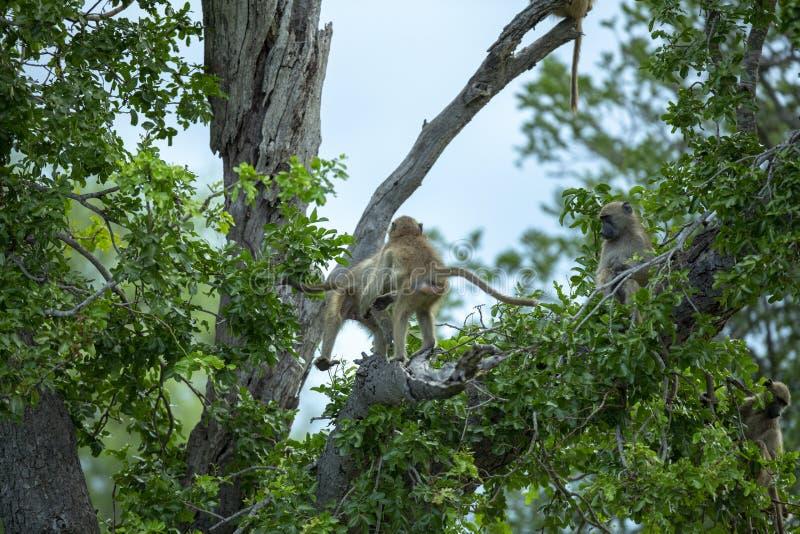 Unga babianer som spelar i trädblasten royaltyfria foton