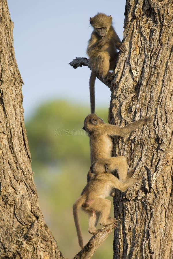Unga babianer spelar och hoppar i ett träd arkivfoton