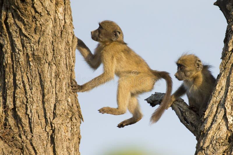 Unga babianer spelar och hoppar i ett träd royaltyfri fotografi