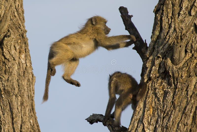 Unga babianer spelar och hoppar i ett träd fotografering för bildbyråer