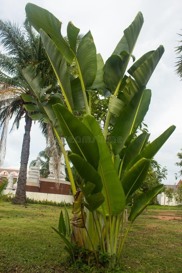 Unga bananträd växer från jordningen royaltyfri fotografi