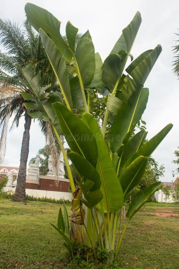 Unga bananträd växer in parkerar trädgården fotografering för bildbyråer