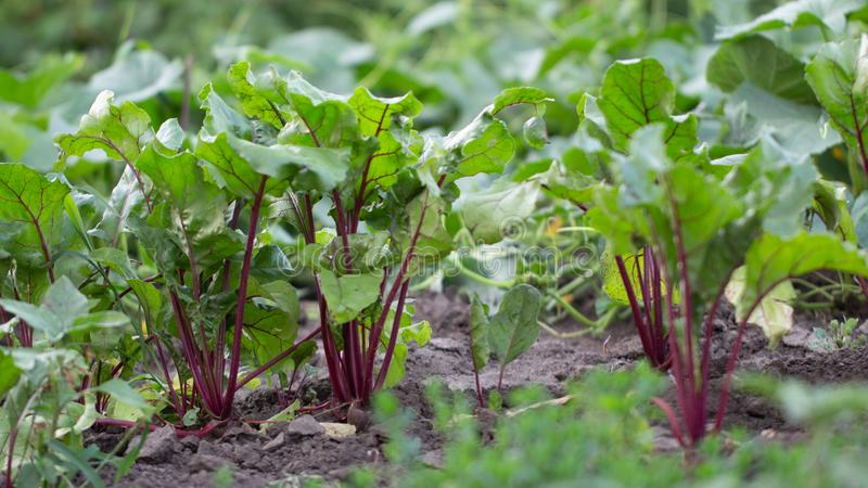 Unga beta med nya gröna sidor i morgondagget växer på trädgårdslutet upp arkivbild