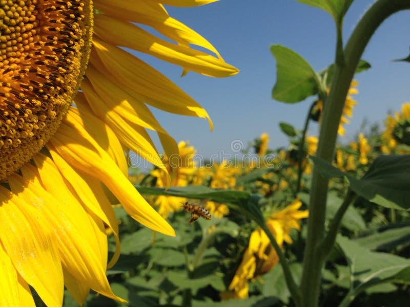 Unga blommor av en solros med guld- kronblad arkivfoton