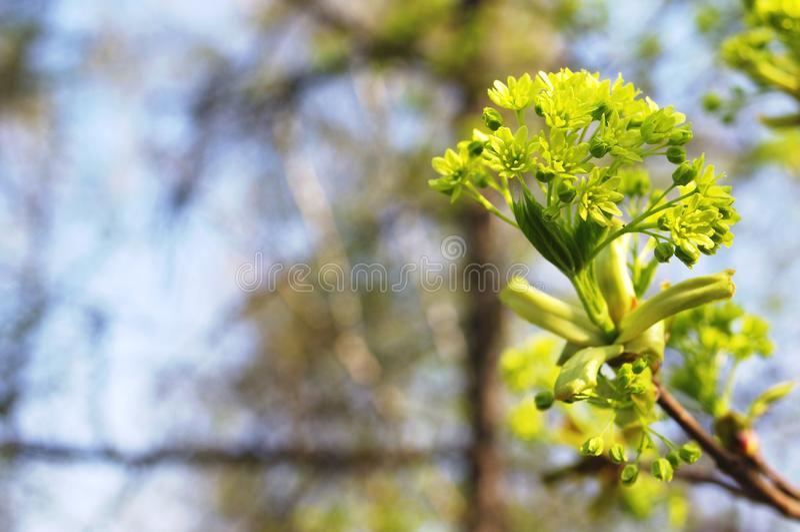 Unga blommor för knoppninggräsplanlönn arkivbild