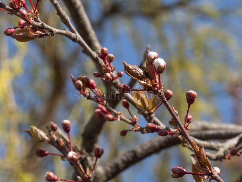 Unga blomningar för plommonträd på en solig vårdag royaltyfri fotografi