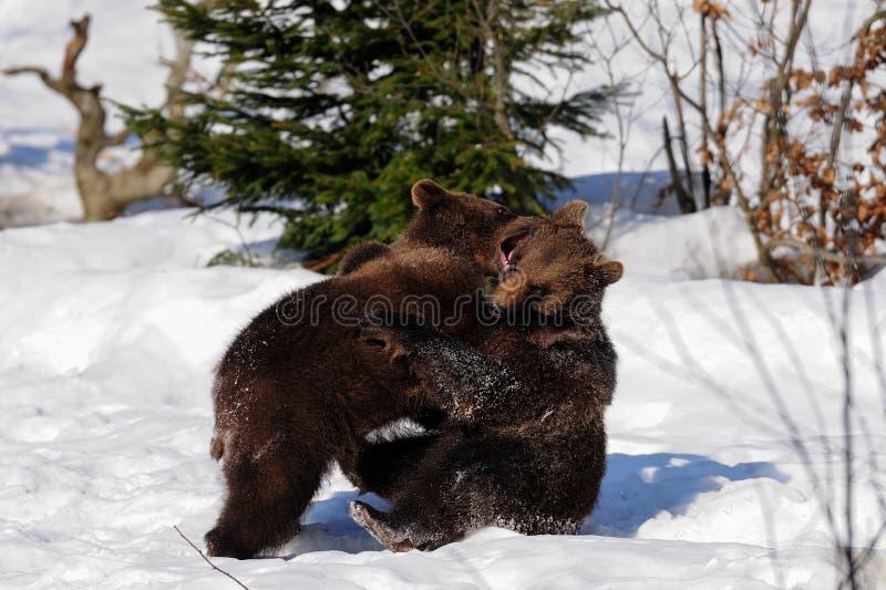 Unga brunbjörnar arkivbild