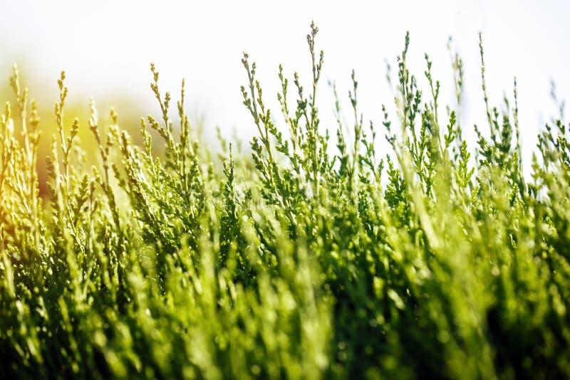 Unga forsar av gräs som når för solljuset royaltyfri bild