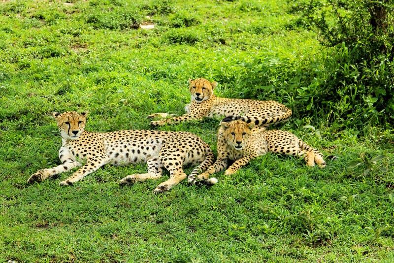 Unga geparder med deras moder royaltyfria foton