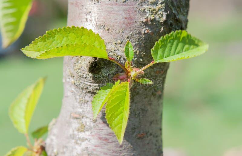 Unga gröna Carpinus Betulus sidor arkivbilder