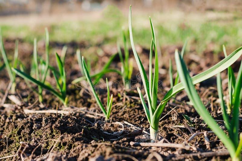 Unga gröna groddar av vitlök som växer från jorden i solig dag för vår Väckande begrepp för natur arkivfoton