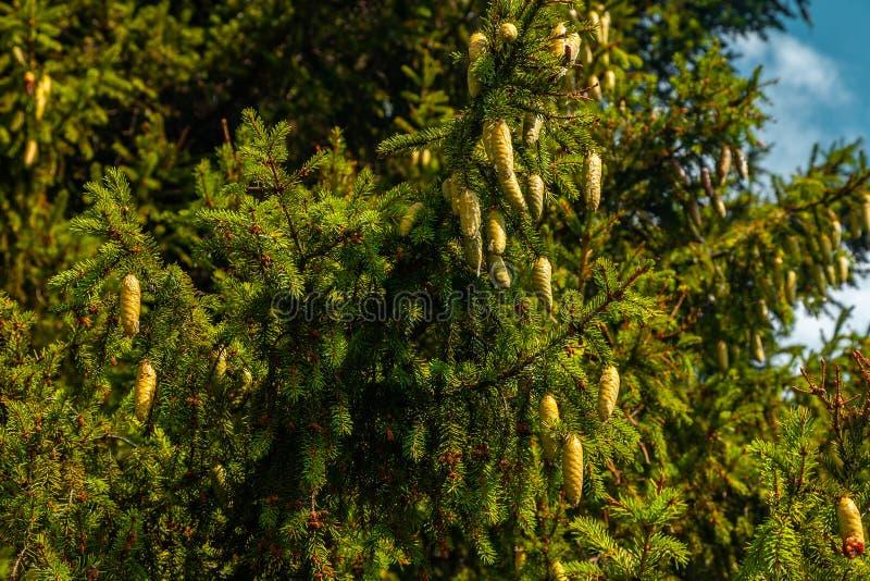 Unga gröna kottar på ett stort gran-träd royaltyfri foto