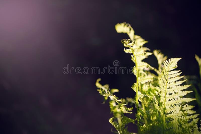 Unga gröna sidor av en ormbunke som växer i mitt av mörker arkivbilder