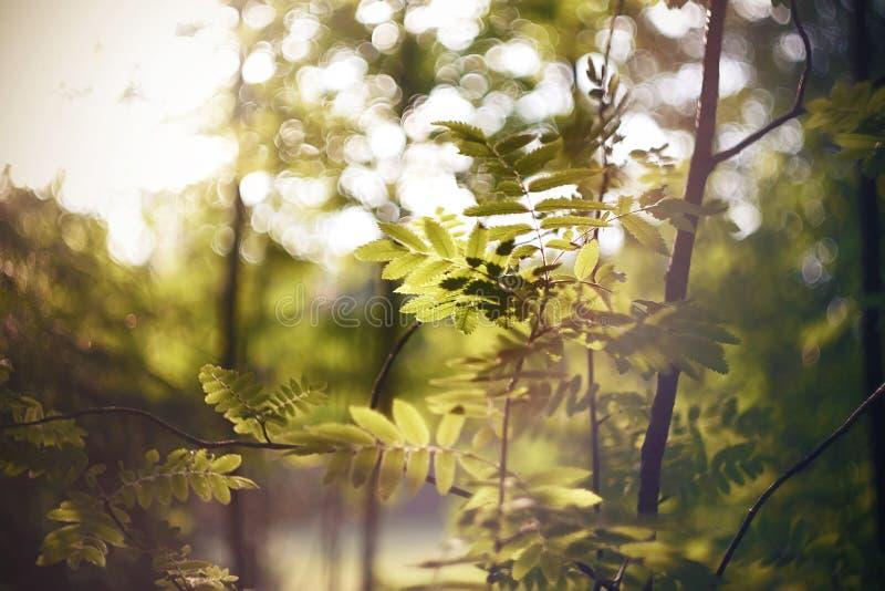 Unga gröna sidor av rönnen som växer på tunna krökta filialer arkivbild
