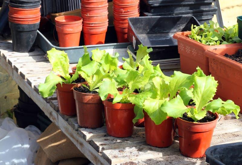 Unga grönsallatväxter i krukor. royaltyfri bild
