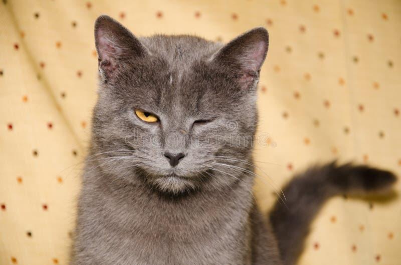 Unga gulliga brittiska kattblinkningar royaltyfri fotografi