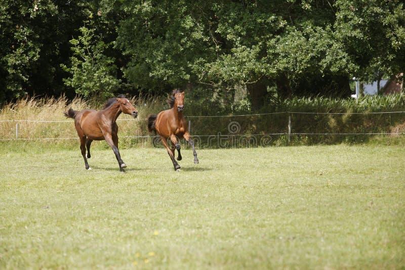 Unga hästar slåss på betar royaltyfri fotografi