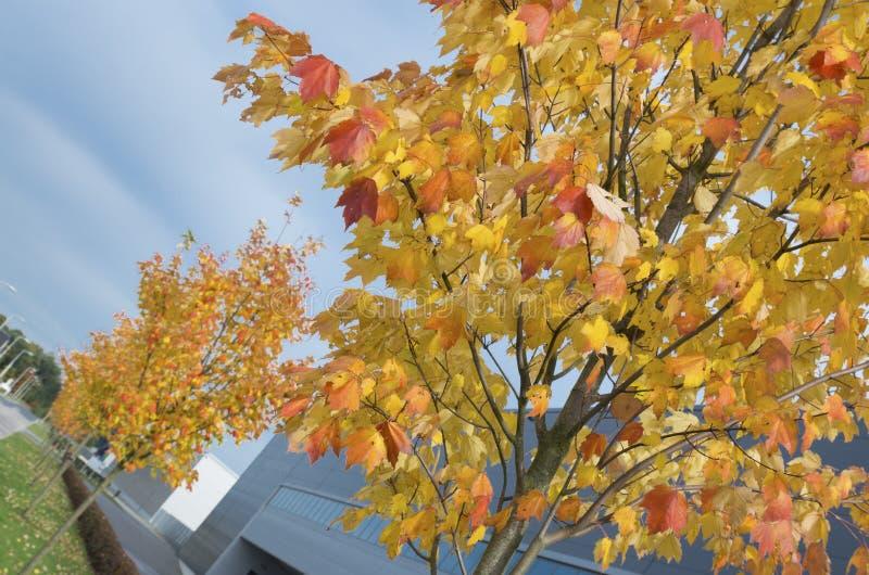 Download Unga höstträd arkivfoto. Bild av färgglatt, guld, bygger - 37344140