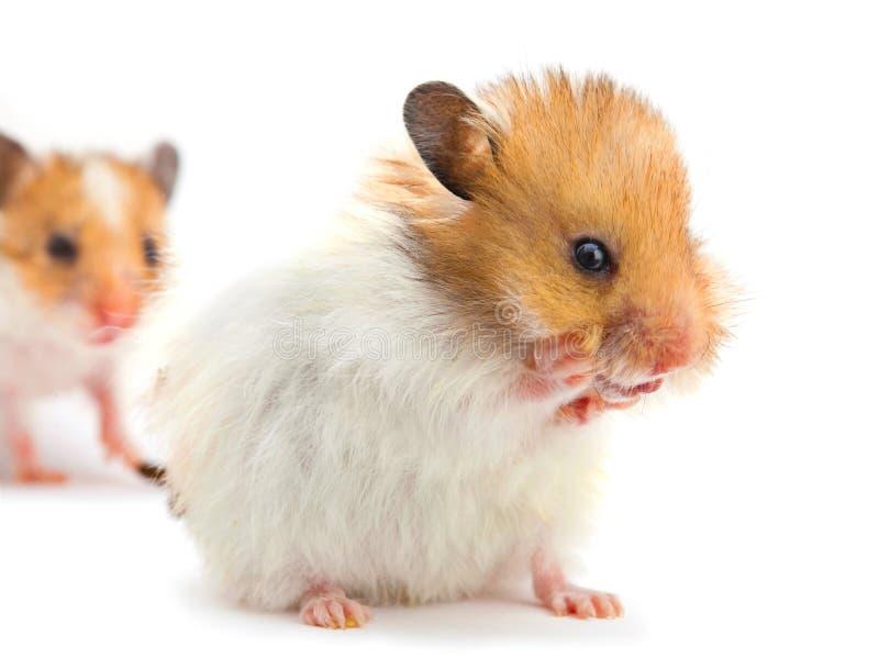 Unga hamsterwashes royaltyfri fotografi