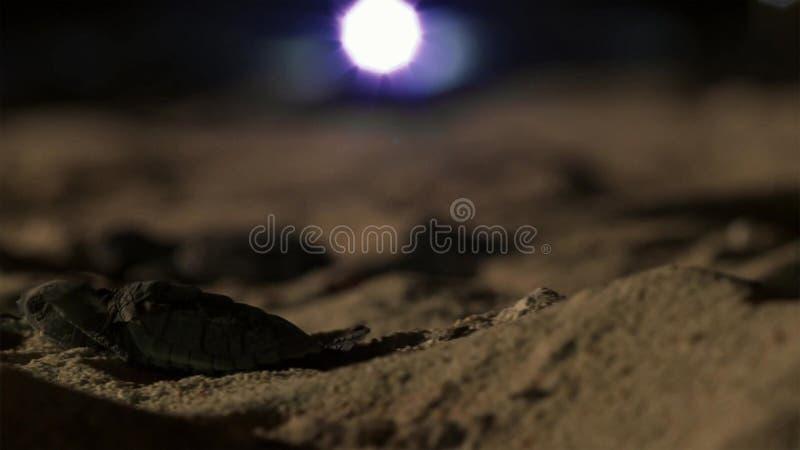 Unga hatchlings för hawksbillsköldpadda desorienteras nu av ljusen av staden briten royaltyfri fotografi