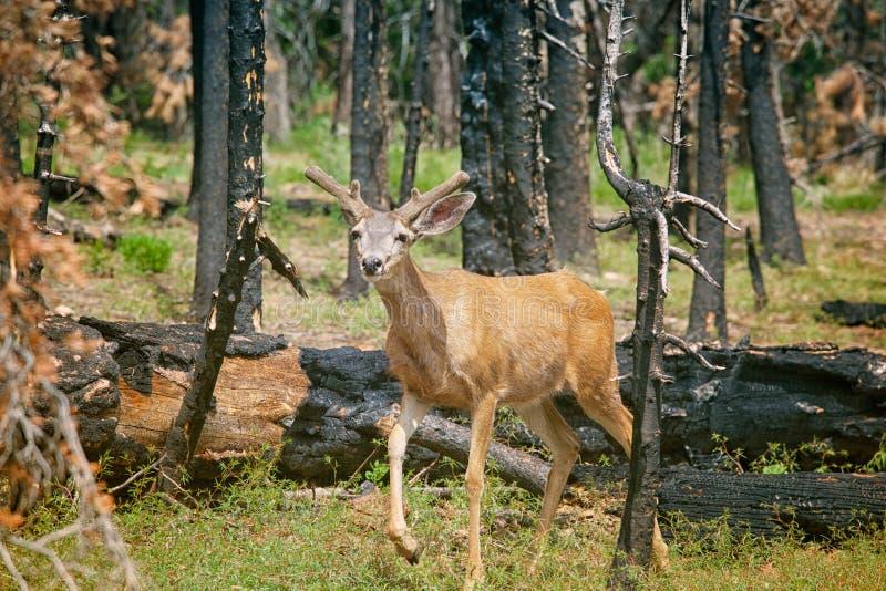 Unga hjortar i en destructed skog i sommar efter löpeld royaltyfria foton