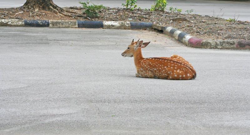 Unga hjortar som sitter på vägen arkivbilder